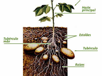 Batata (Solanum tuberosum)