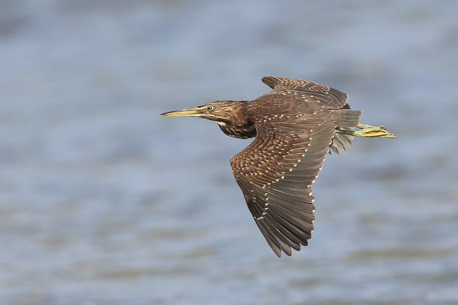 Striated Heron - juvenile