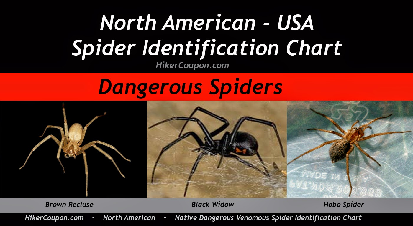 spider american hairy north
