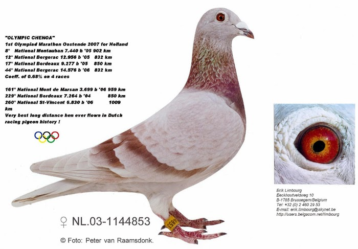 chris hebberecht pigeons