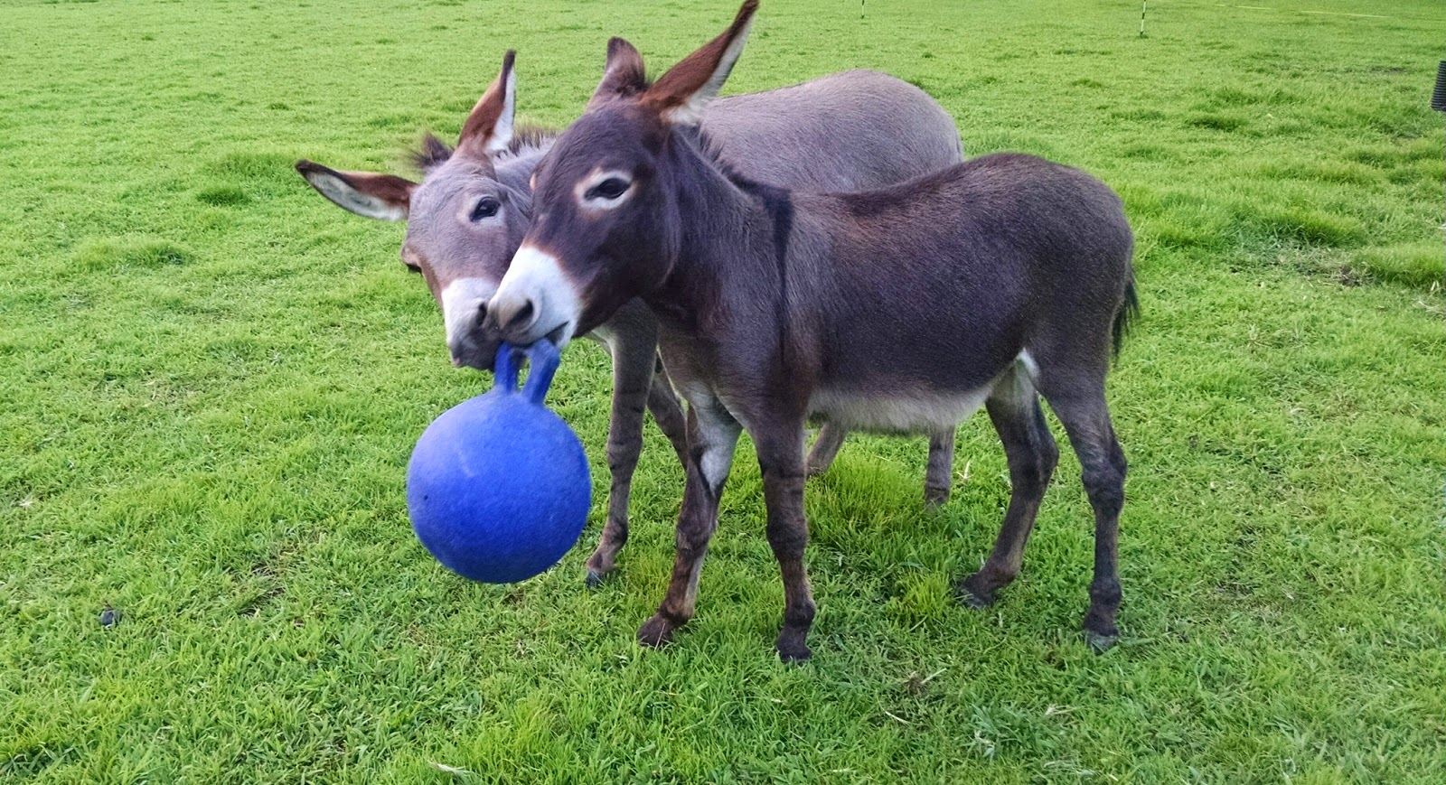 two miniature donkeys with a ball