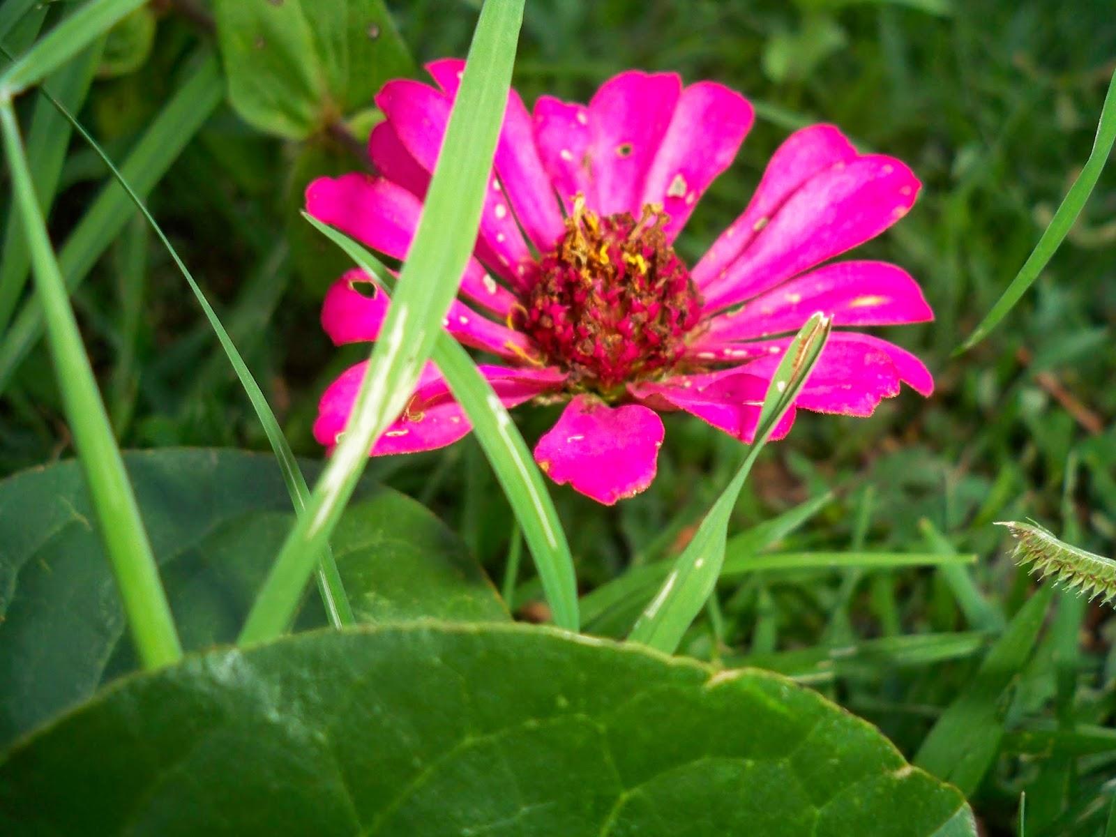 ดอกบานชื่น