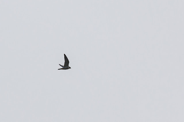 Distant shot of Peregrine Falcon