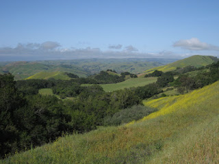 Tree-studded hills carpeted in yellow flowers, view to the south from Highway 46 near Cambria, California