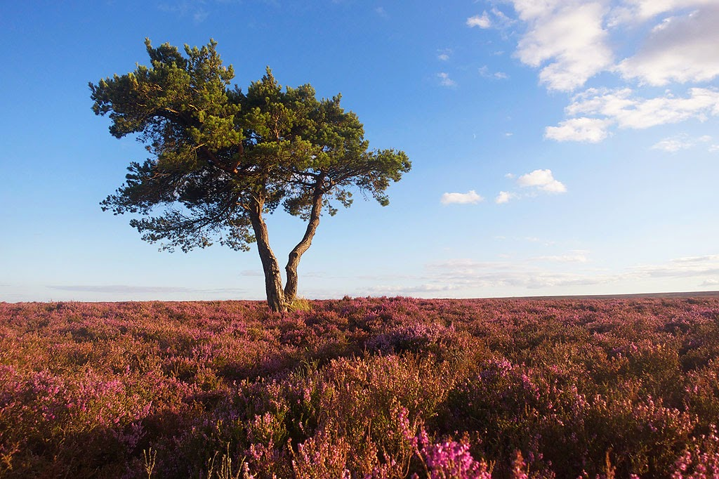 heather north york moors, lone tree egton bridge
