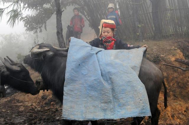 Cách chống rét cho trâu bò trong mùa đông