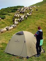 Овцы возле палатки Bergson Arizona 3