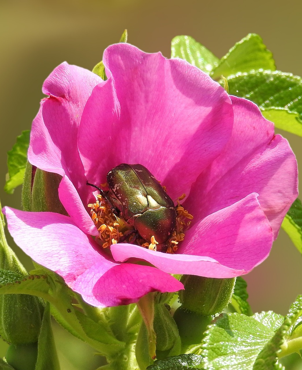 Picture of a rose beetle.