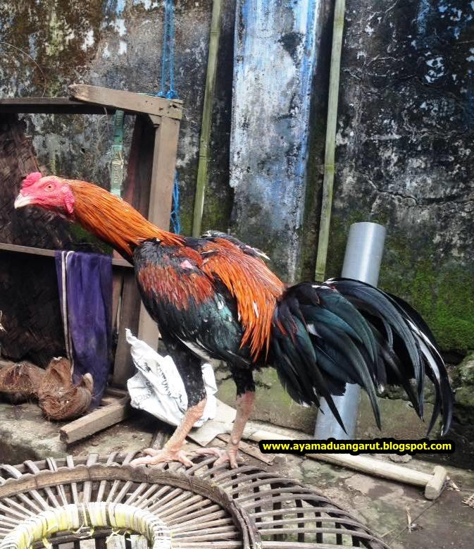 Ayam Bangkok Jawara Pukul Ko Ayam Adu Pukul Ko Ayam