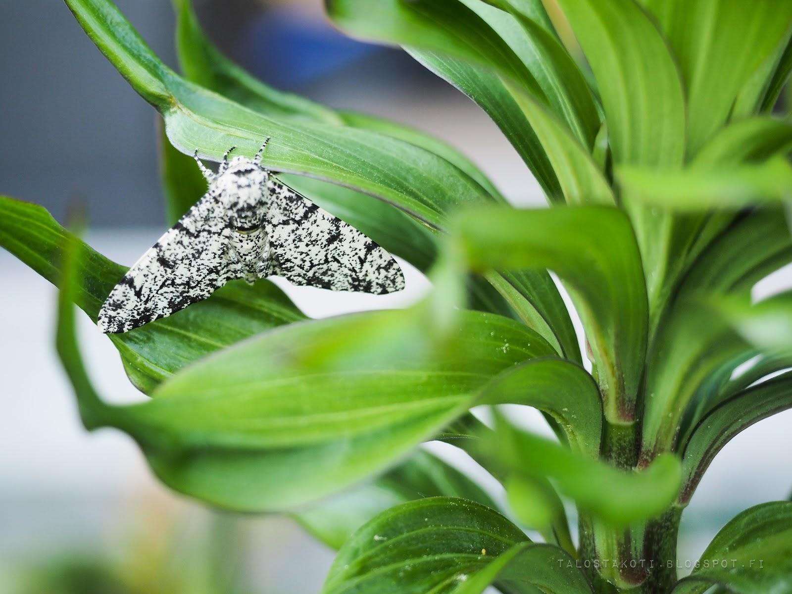mustavalkoinen perhonen