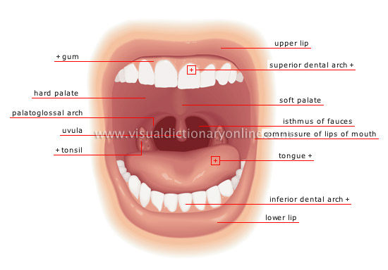 Function Of The Mouth In The Respiratory System 67