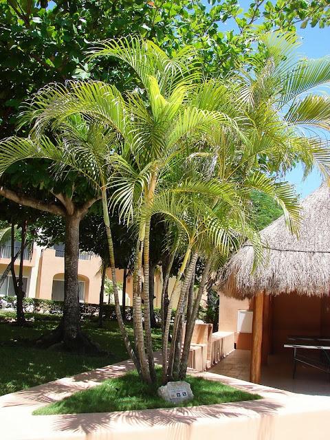 planta-palma-areca