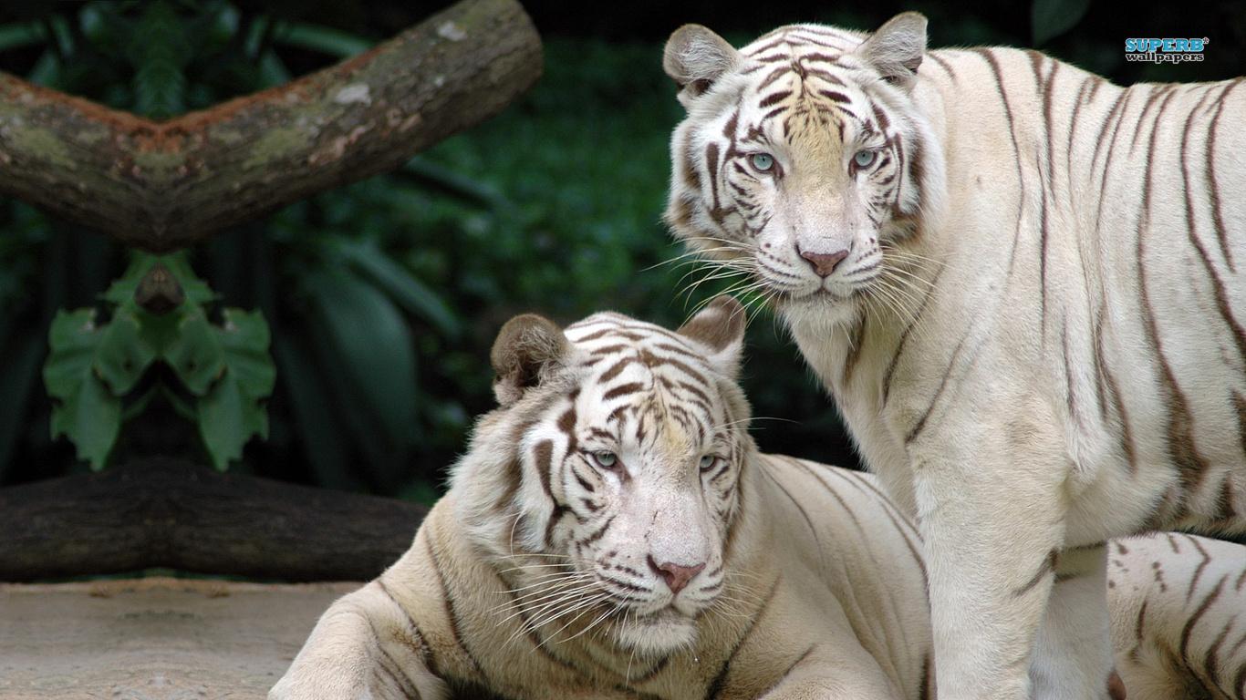 Wallpaper Harimau Putih  Gambar dan Wallpaper