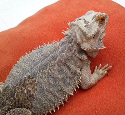 Bearded dragon health check
