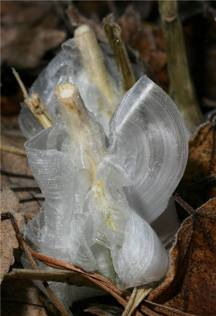 Frost Flowers Nature S Exquisite Ice Extrusion Kuriositas