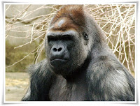 Gorilla Animal Pictures