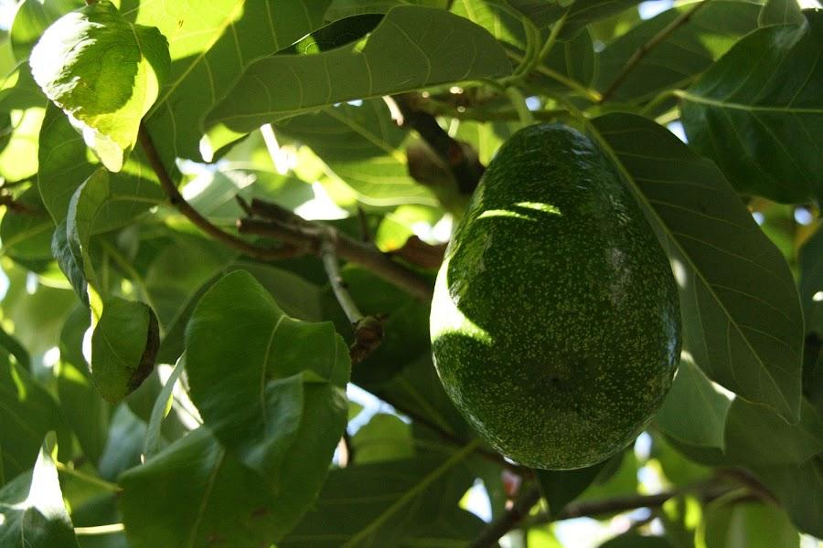 Fruto del árbol de aguacate o palta