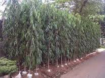 pohonglodogan
