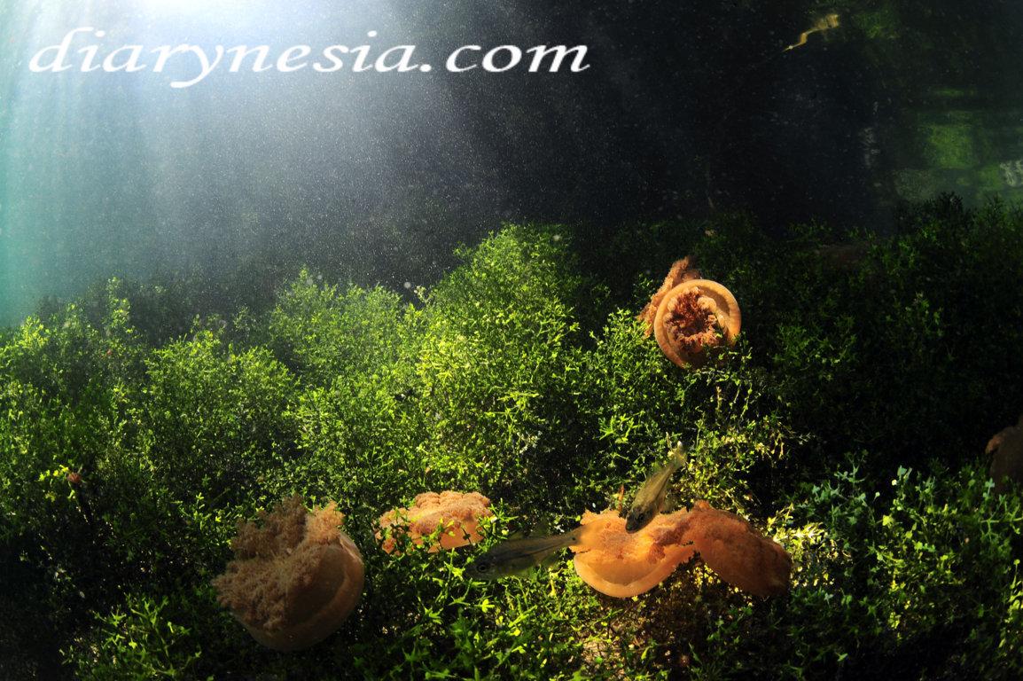 Stingless jellyfish lake, overview of kakaban island, how to get to kakaban island, diarynesia
