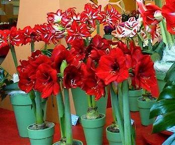 Røde amaryllis i potte