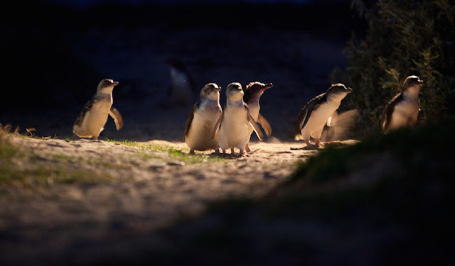 Penguin Parade - Foto do site oficial