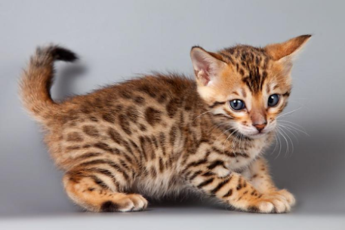 Bengal Cat Breed: Personality, Health, Care and Grooming
