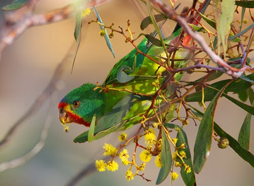 Swift Parrot is Endangered