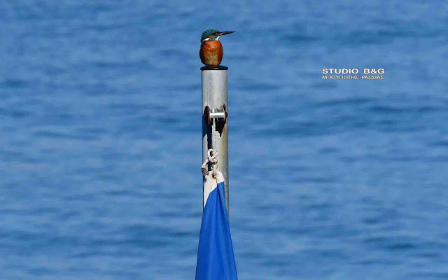 Η φωτογραφία της ημέρας: Μια Αλκυόνη στον ιστό της Ελληνικής σημαίας