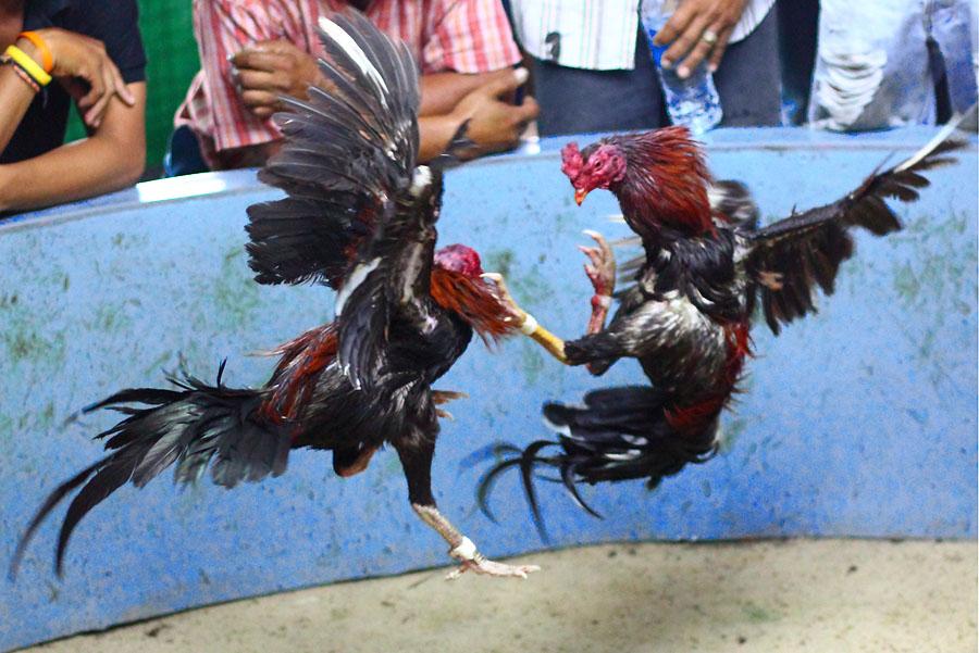 ciri supit belakang ayam aduan pukulan maut pecinta ayam jago bangkok