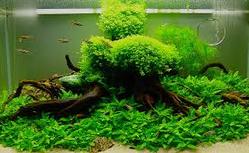 Cara Merawat  Ikan Hias Di Akurium dengan tumbuhan air