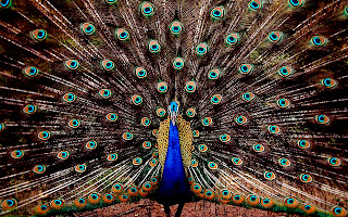 Peacock Colorful Wings Features HD Wallpaper