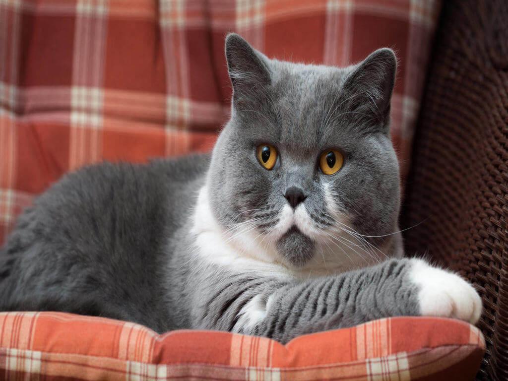 Kucing baka British shorthair