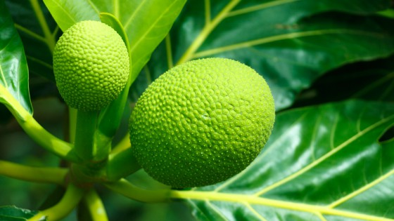 Growing breadfruit