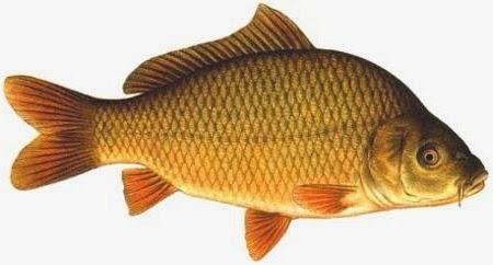 Jenis Ikan Konsumsi Air Tawar Yang Sering Dibudidayakan Artikel Materi