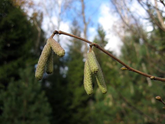 сережки орешника