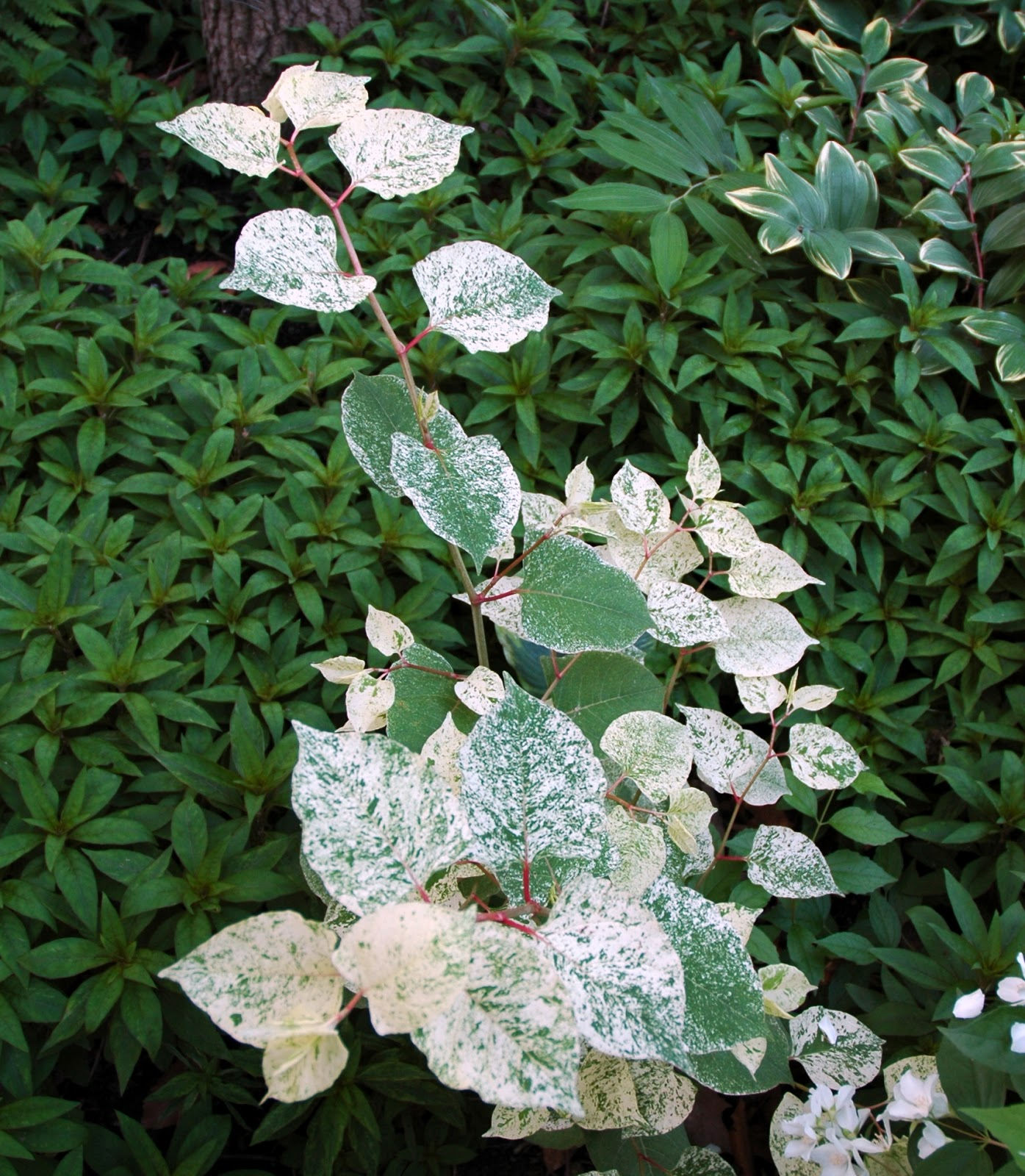 Tin roof gardens philadelphus in maryland variegated fleece flower or fallopia japonica variegata has colorful foliage and small poofy flowers in the summer we grow it for the foliage and red mightylinksfo