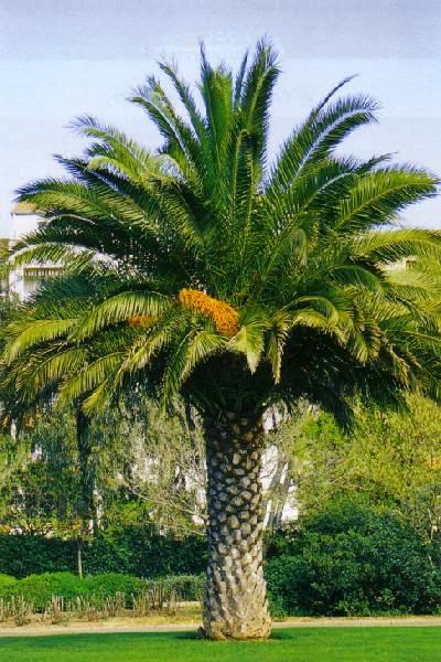 mimosa m rier orme palmiers comment a marche. Black Bedroom Furniture Sets. Home Design Ideas