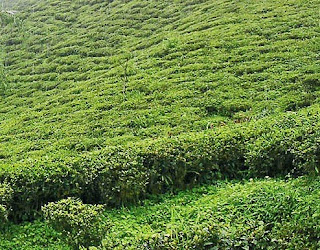 Dootriah, Kalej Valley and Peshok tea gardens