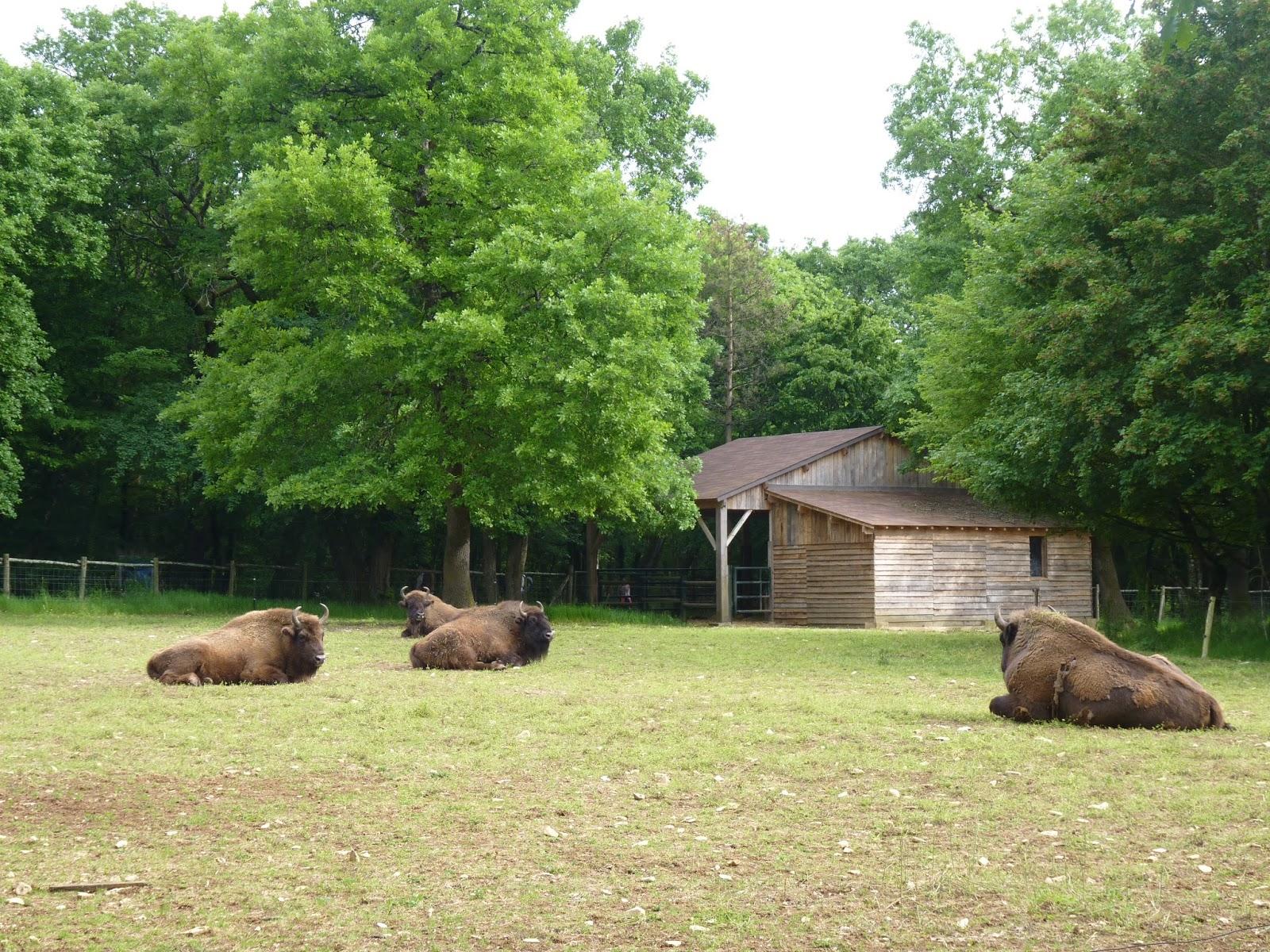 Bisons Zoodyssée à Chizé