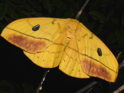 Maltagorea auricolor female Tagoropsis leporina