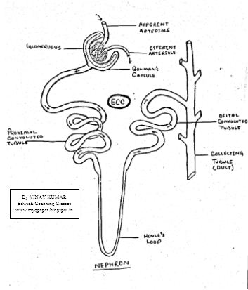 DOWNLOAD MOST IMPORTANT HAND DRAWN DIAGRAM OF NEPHRON FOR