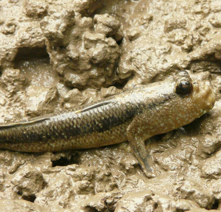 Picture of the unsual Mudskipper fish that can breath oxygen.