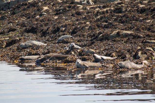 Plockton-foche grigie