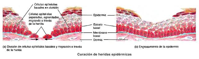 Piel epidermis curación de heridas cutáneas