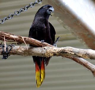 burung nuri hitam