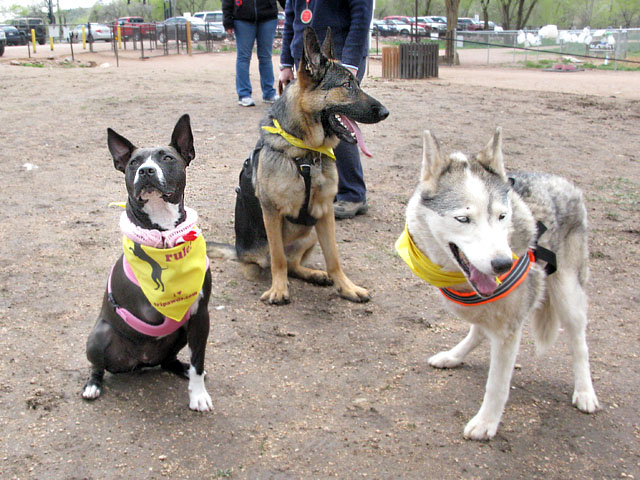 Three tri pawed dogs at park