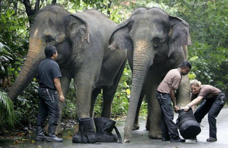 Elephant Wearing Shoes