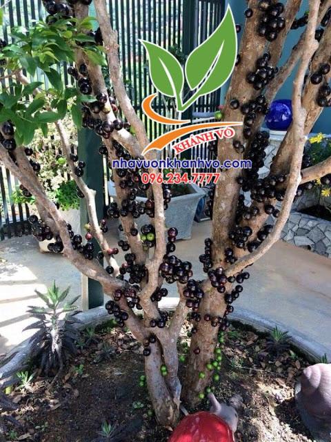 Bán cây nho thân gỗ giá rẻ, cây đẹp mê ly