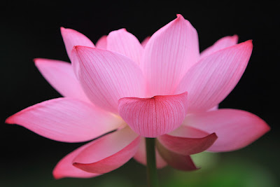 Hoa sen đẹp