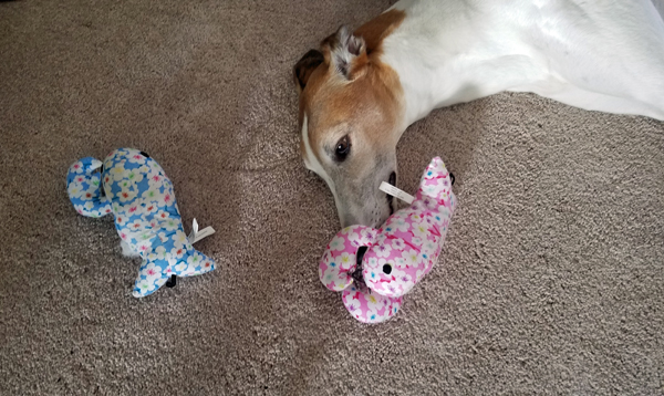 image of Dudley the Greyhound lying on the floor with a plushy toy on his nose, and another to the side of his head